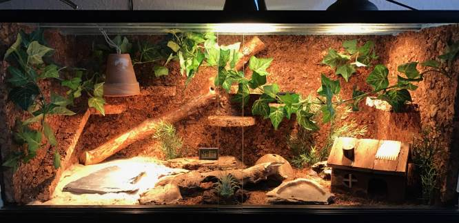 Madagaskar Großkopfgecko - Paroedura Picta Gecko - Bielefeld