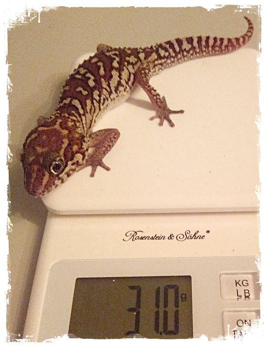 Madagaskar Großkopfgeckos - Paroedura picta Geckos - Bielefeld