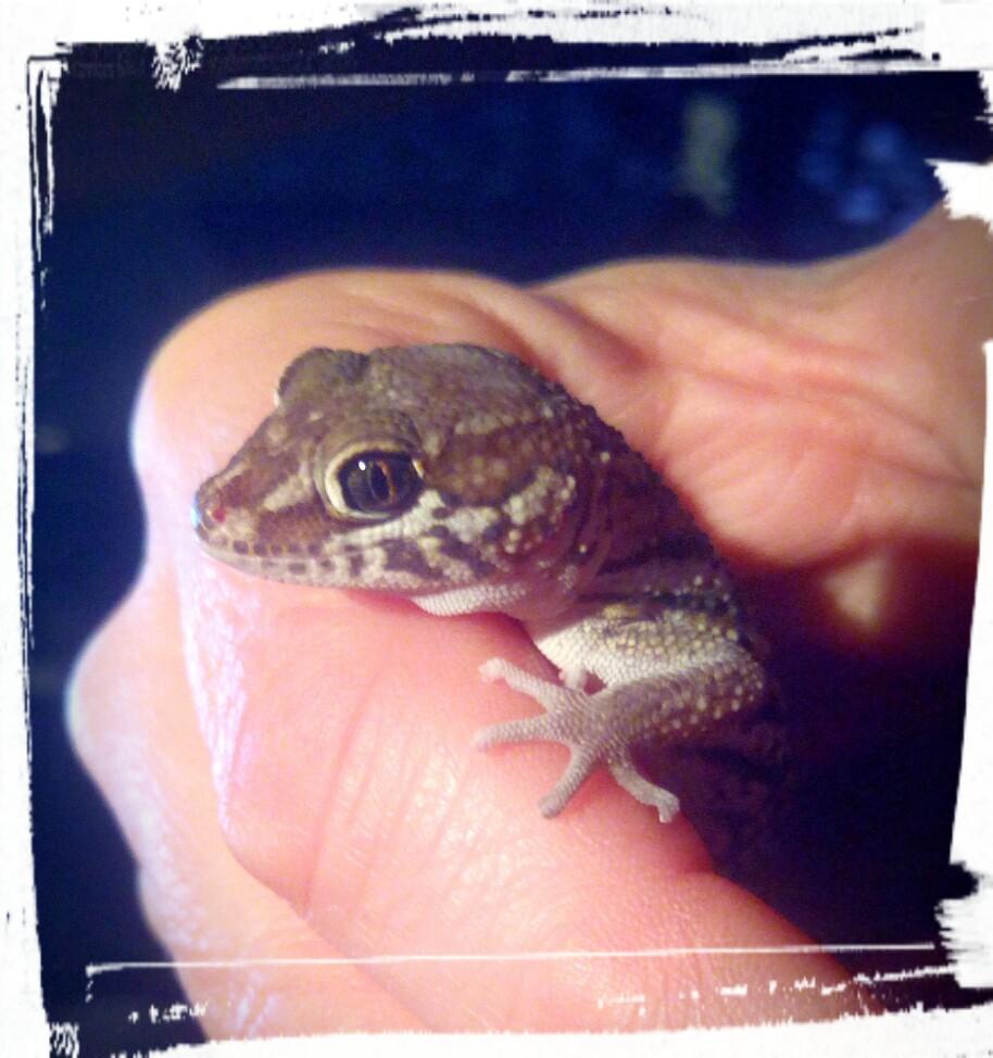 Madagaskar Großkopfgeckos - Paroedura picta Geckos