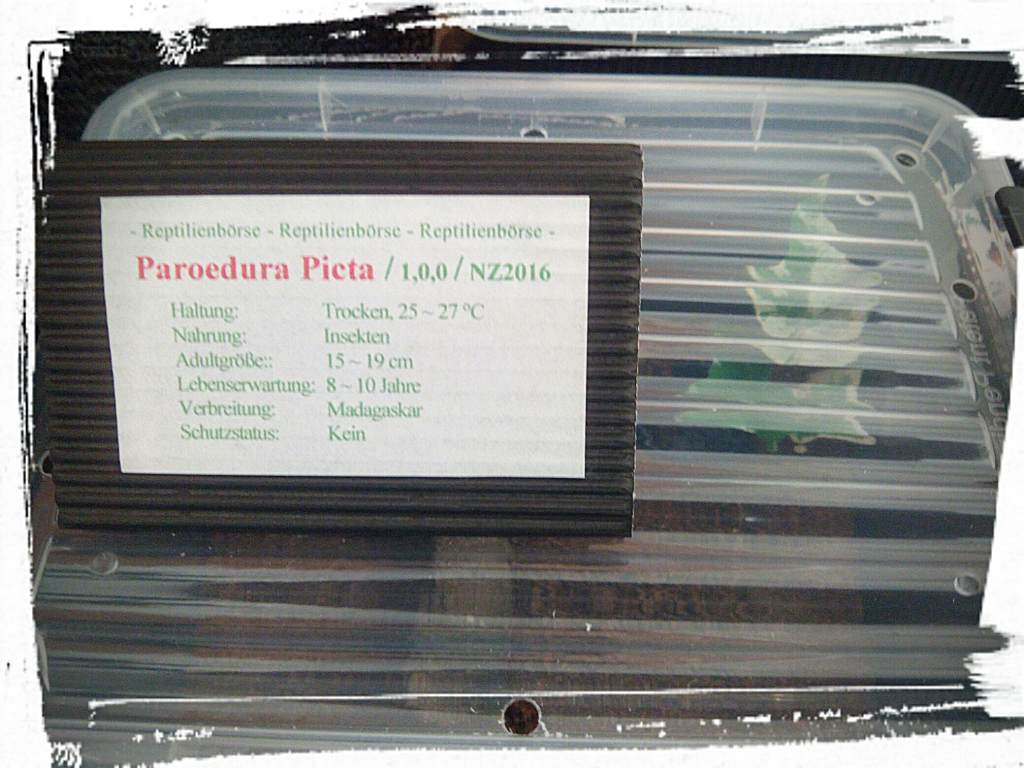 Paroedura picta von Dark - Messestand