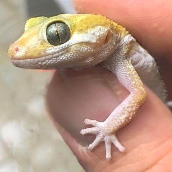 Paroedura picta - Großkopfgecko - Farben